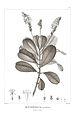 Retiniphyllum secundiflorum 25.jpg