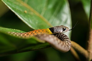 Rhabdophis subminiatus, Red-necked keelback - Kaeng Krachan National Park (18905589102).jpg