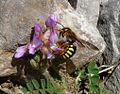 Rhodanthidium septemdentatum - Flickr - gailhampshire.jpg