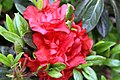 Rhododendron Autumn Embers 1zz.jpg