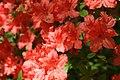 Rhododendron Bagatelle 0zz.jpg