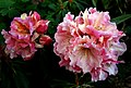 Rhododendron bambino (1) (8170892536).jpg