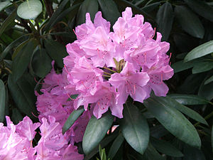 John Fraser (botanist) - Fraser was the first European to collect Rhododendron catawbiense