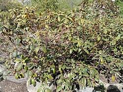 Rhododendron minus - University of Copenhagen Botanical Garden - DSC07589.JPG