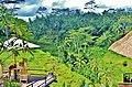 Rice Fields in Ubud Indonesia Bali - panoramio.jpg
