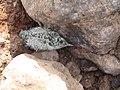 River tern-Chick 03 - Koyna 042011.JPG
