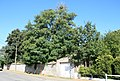 Robiniers faux acacias Quevaucamps 7972 BE.JPG