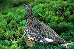 Rock Ptarmigan in Mount Akaishi 1994-7-30.jpg