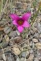 Romulea rosea kz1.jpg