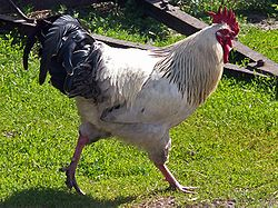 A rooster