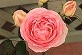 Rosa 'Eden'.jpg