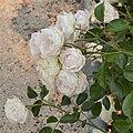 "Rosa ""Bella Weiss"" o KORtuel. 01.jpg"