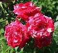 Rosa Papageno 2.jpg