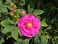 Rosa centifolia Muscosa 2017-05-31 1740.jpg