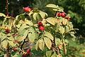 Rosa villosa fruit 01.jpg