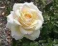 Rosarium Baden Rosa 'Tchaikowski' Meilland 1999 03.jpg
