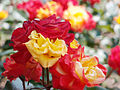 Rose,Samba,バラ,サンバ, (8156003561).jpg