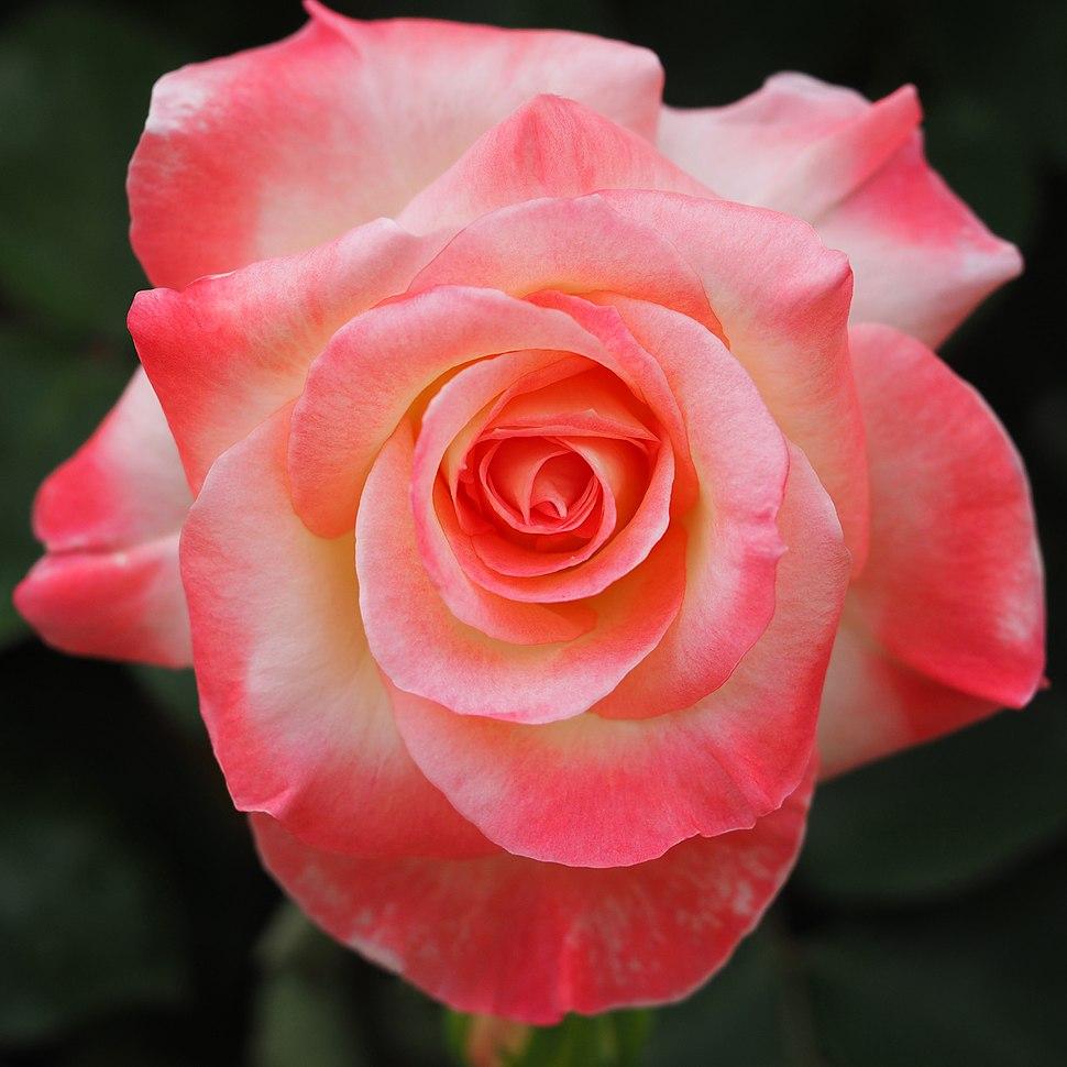 Rose, Elegant Lady ( Diana, Princess of Wales), バラ, エレガント レディ(旧名 ダイアナ プリンセス オブ ウェールズ) (23229373783)