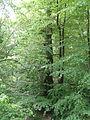 Rotbuche im Isseltal (Hoch-Weisel) 07.JPG