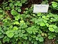 Rubus nepalensis - Berlin Botanical Garden - IMG 8740.JPG