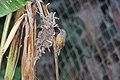 Rufous-breasted Wren (Pheugopedius rutilus) (4504889645).jpg