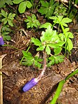 Ruhland, Grenzstr. 3, Balkan-Windröschen im Garten, Blätter und öffnende Blüten, Frühling, 04.jpg
