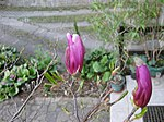 Ruhland, Grenzstr. 3, Purpur-Magnolie vor dem Haus, Blütenknospen öffnend, Frühling, 01.jpg
