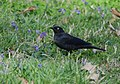 Rusty Blackbird (33428180824).jpg