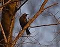 Rusty Blackbird at sunset (46382719071).jpg