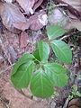 Ruwolfia Serpentina.JPG