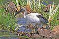 Sacred ibis (Threskiornis aethiopicus) immature.jpg