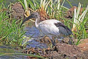 African sacred ibis - immature, Uganda