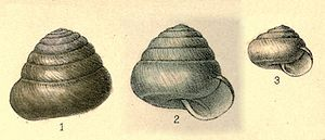 Sagdidae - Two adult shells and one juvenile shell of Sagda alligans