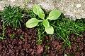 Sagina procumbens plant (24).jpg
