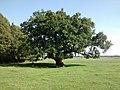 Saint-André-de-Bohon - L'arbre frottou, arbre remarquable (2).jpg