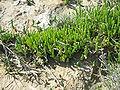 Salicornia europaea01.jpg