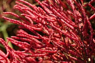 Salicornia - Salicornia virginica