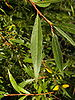 white willow - Photo (c) Willow, some rights reserved (CC BY-SA)