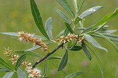 240px salix eleagnos (lavendel weide) img 4363
