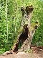 Salix hollow tree FRA-Niddapark 01.jpg