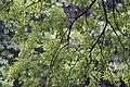 Salix rosthornii, Hangzhou Botanical Garden 2018.06.03 15-37-13.jpg