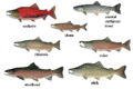 Salmon 01 transparent.png