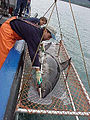 Salmon shark research.jpg