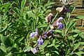 Salvia-officinalis-flowers.JPG