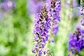 Salvia nemorosa Marcus 8zz.jpg