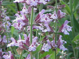 <i>Salvia</i> genus of plants