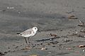 Sanderling, Calidris alba, in non-breeding plumage, Monterrey Bay area, USA (30279752293).jpg
