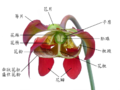 Sarracenia flower notitles in Chinese.png
