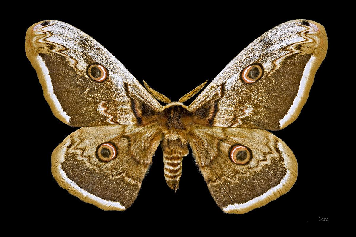 Grand paon de nuit wiktionnaire - Signification papillon de nuit ...
