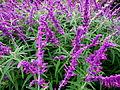 Sauges violettes.jpg